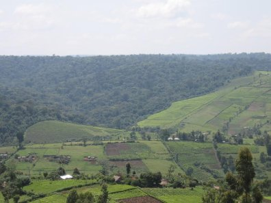 A tea plantation (foreground) bordering part of the Mau forest. Excisions of the Mau forest have been driven by demand for farmland.