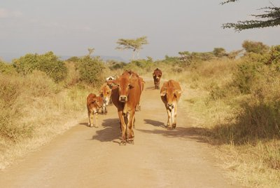 Cattle in the Nairobi National Park.